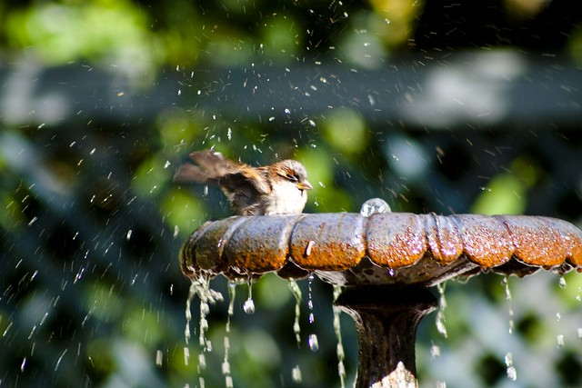 Bird friendly balcony or garden - bird bathing in a bird bath