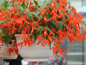 Begonia boliviensis outdoor plant