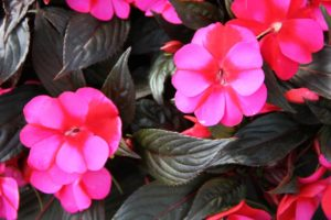 New Guinea Impatiens outdoor plant