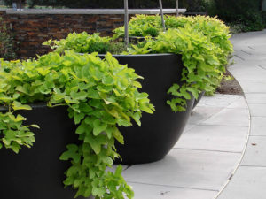 Sweet Potato Vine in containers outdoor plants