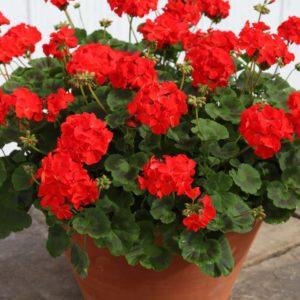 geranium outdoor plant
