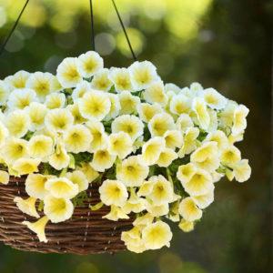 petunia outdoor plant