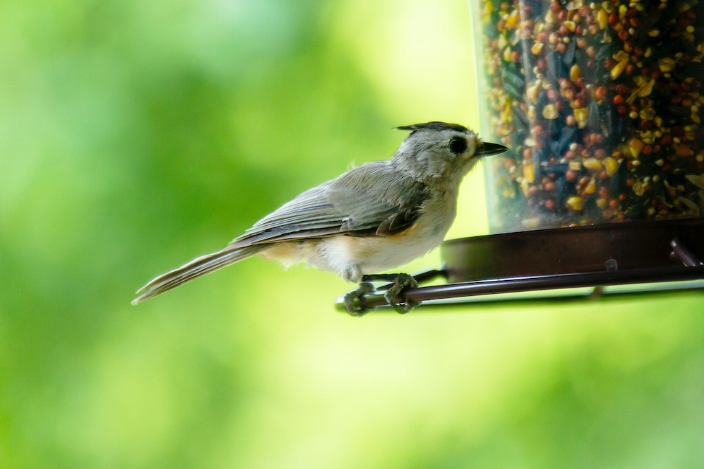 Black-crested Texas titmouse at a bird feeder